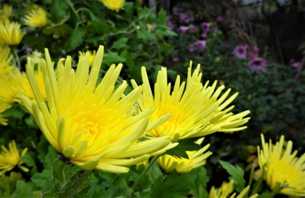 食用菊(雪の下で越冬し明年も食せます)